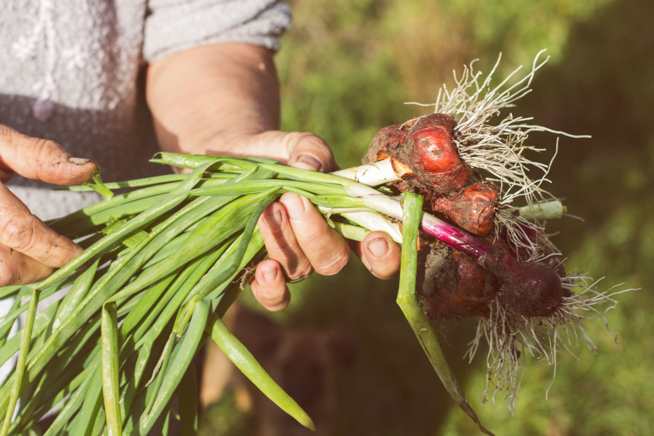 Person holding recently picked onions in field